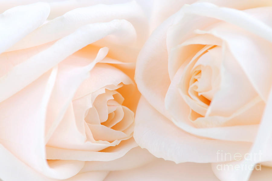 Rose Photograph - Beige Roses by Elena Elisseeva