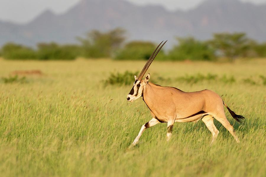 Africa Photograph - Beisa Oryx Running In Awash National Park by Tony Camacho