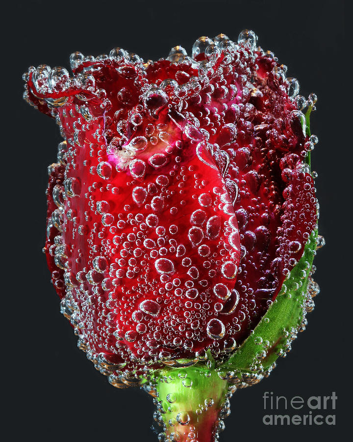 Flower Photograph - Bejeweled Rose by ELDavis Photography