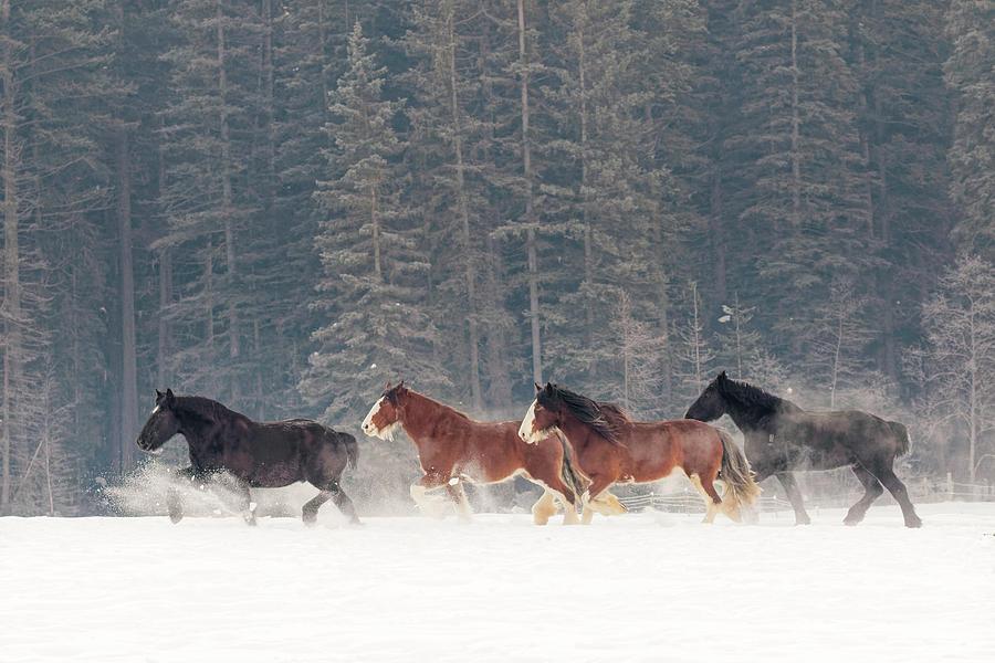 Adam Jones Photograph - Belgian Horse Roundup In Winter by Adam Jones