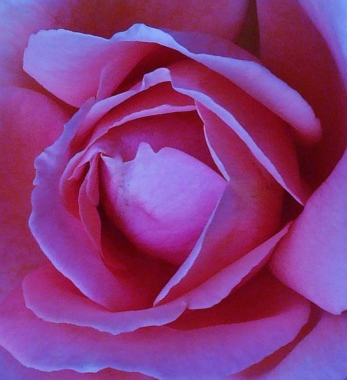 Roses Photograph - Bella Di Giorno by Michel Croteau