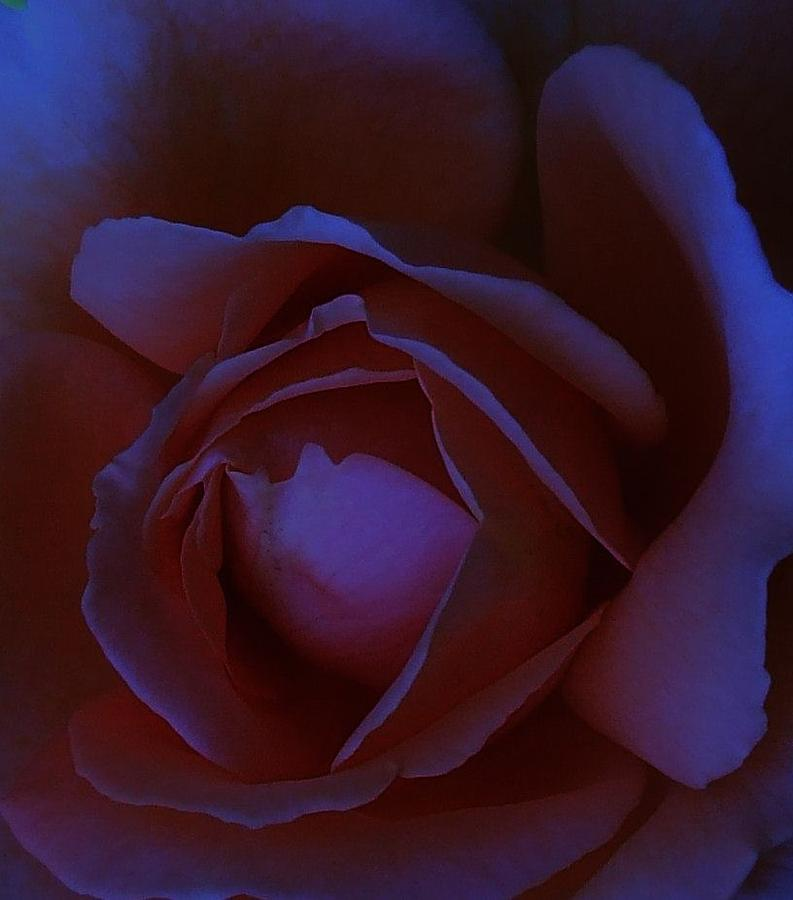 Roses Photograph - Bella Di Notte by Michel Croteau