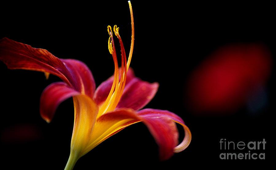 Belladonna Lily Photograph