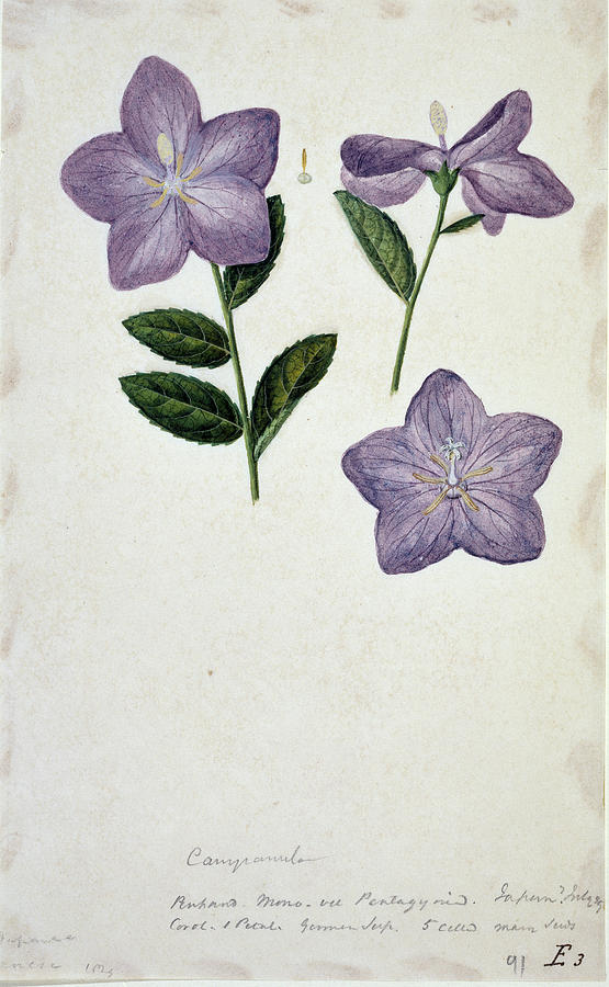 Bellflower Photograph - Bellflower by Natural History Museum, London/science Photo Library