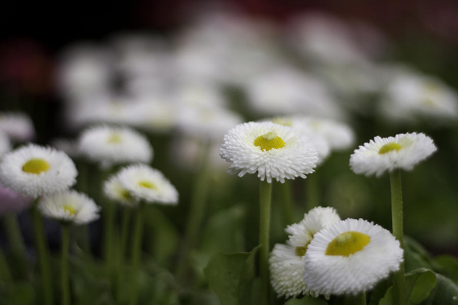 Bellis Perennis Photograph by Lesley Rigg