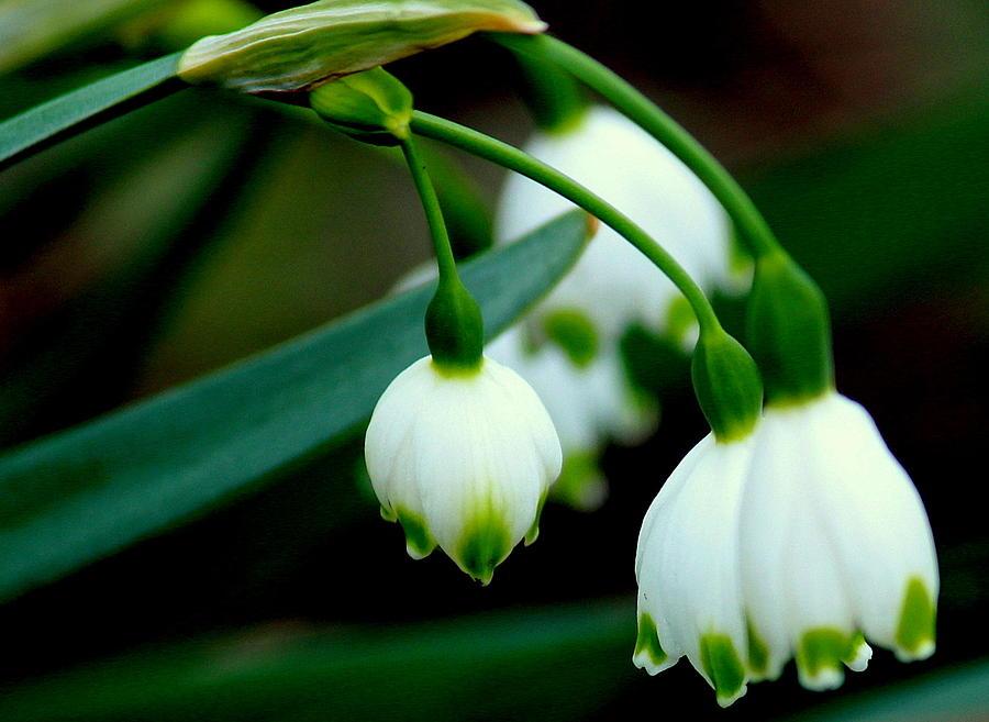 Flowers Photograph - Bells In Nature by Rosanne Jordan