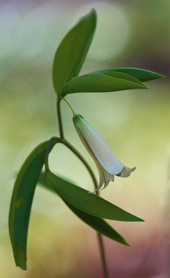 New England Photograph - Bellwort - Spring 2013 by Thomas J Martin