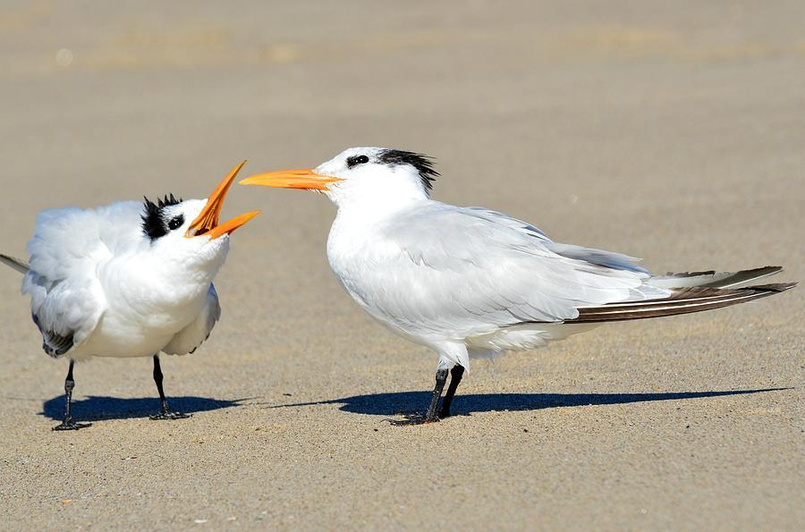 Common Tern Photograph - Bending Moms Ear  by Fraida Gutovich