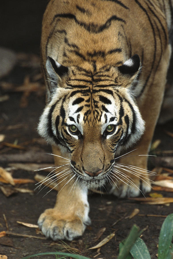 Bengal Tiger Approaching Photograph by San Diego Zoo
