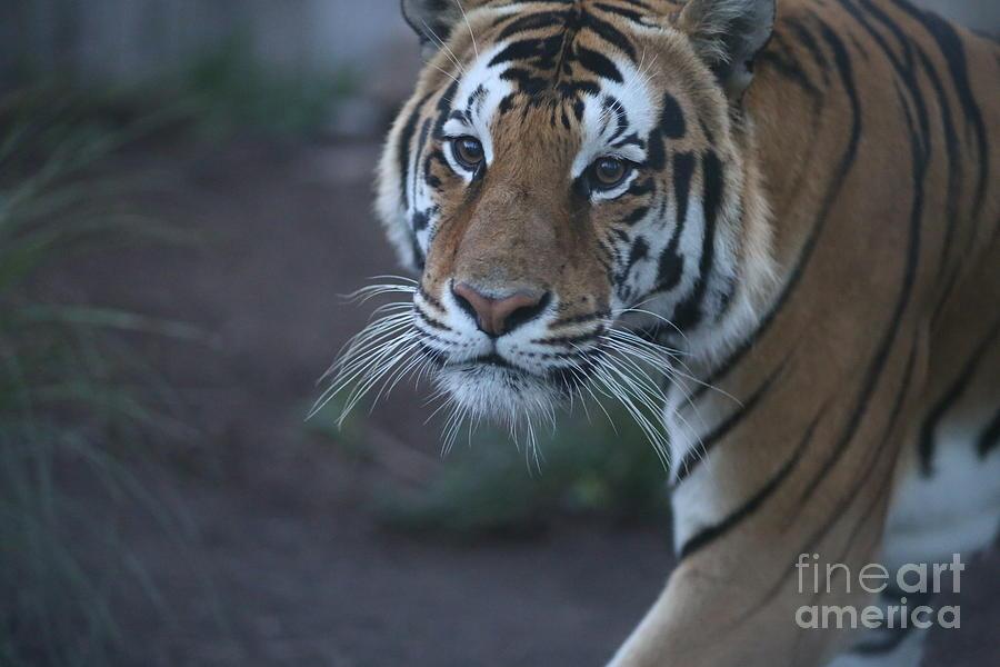 Bengal Tiger Photograph by Brenda Schwartz