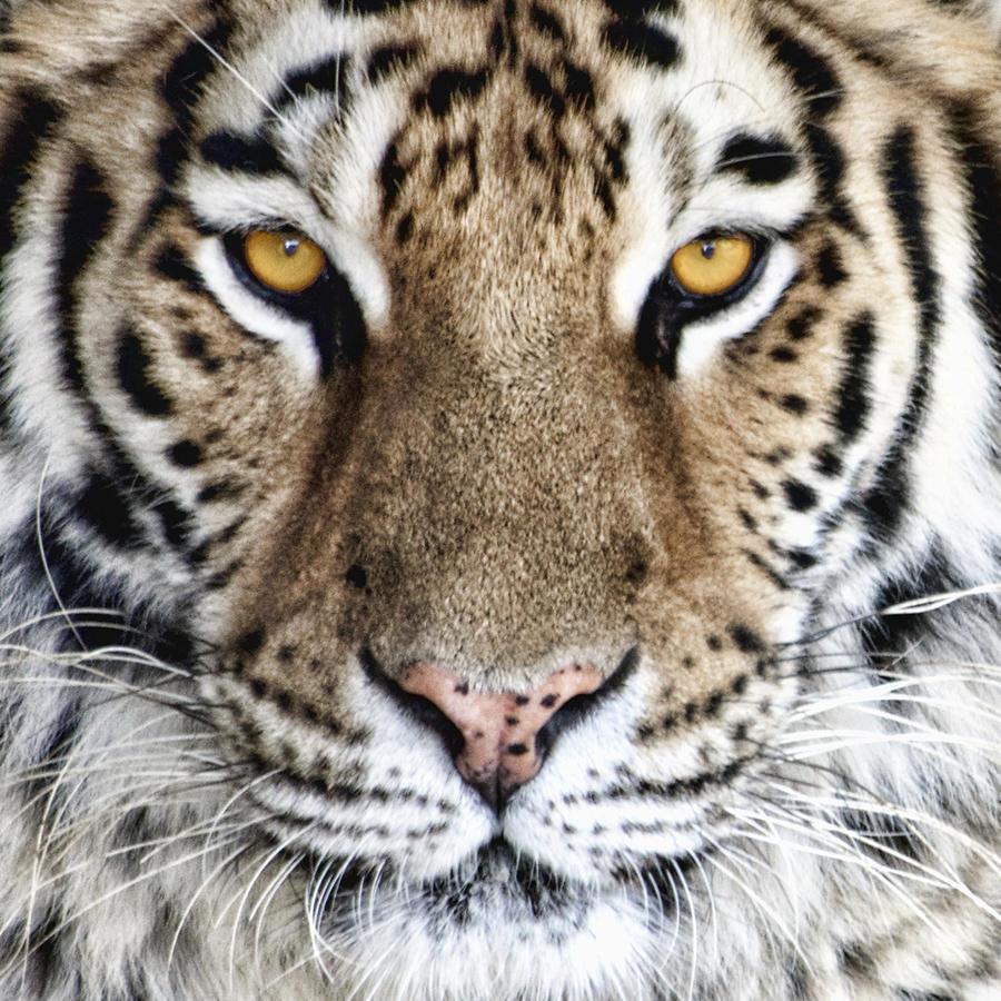 Tiger Photograph - Bengal Tiger Eyes by Tom Mc Nemar