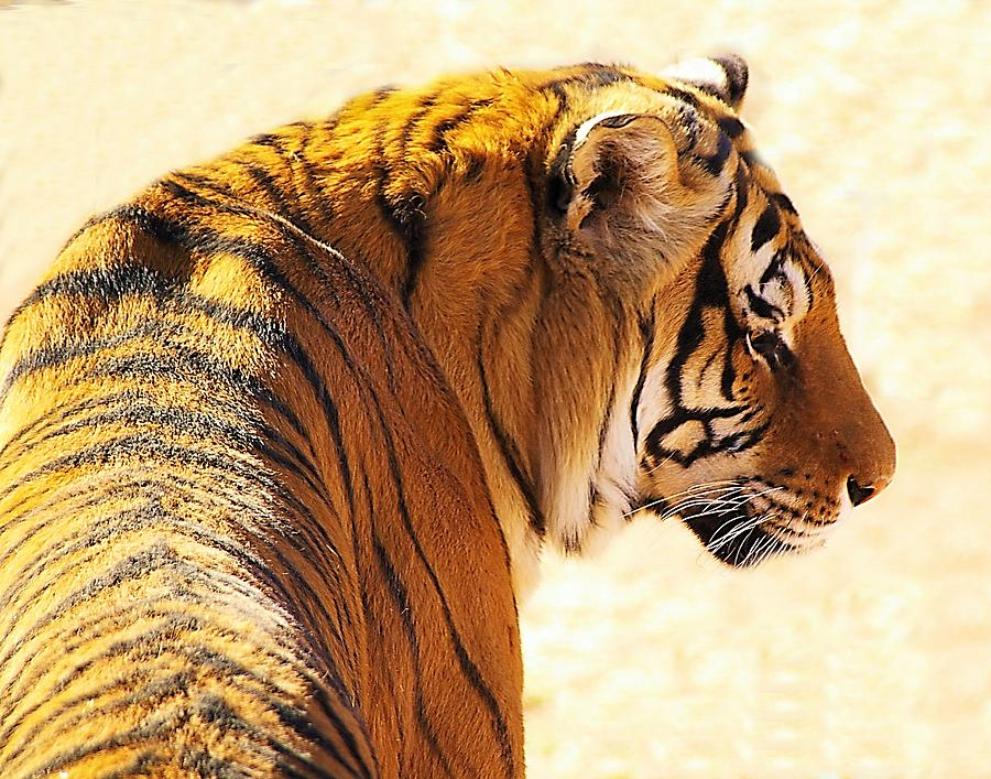 Bengal Tiger Photograph - Bengal Tiger In Thought by JAXINE Cummins