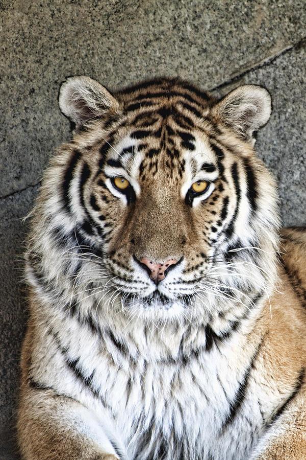 Tiger Photograph - Bengal Tiger Vertical Portrait by Tom Mc Nemar