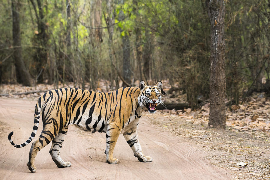 Bengal tigress crossing track in sal forest Photograph by James Warwick
