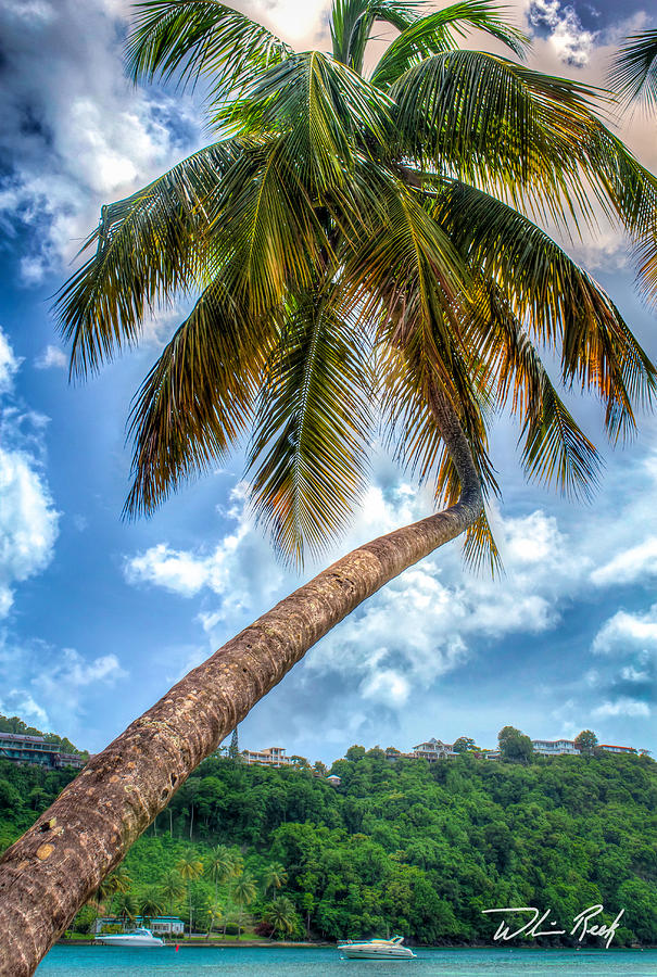 Palm Photograph - Bent Palm by William Reek