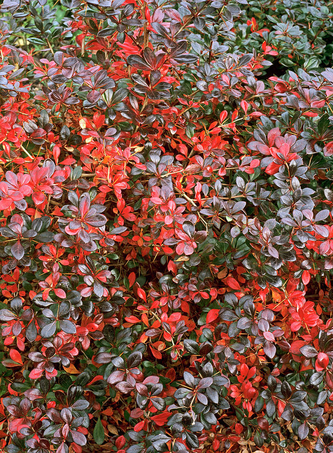 Plant Photograph - Berberis X Media red Jewel by Geoff Kidd/science Photo Library