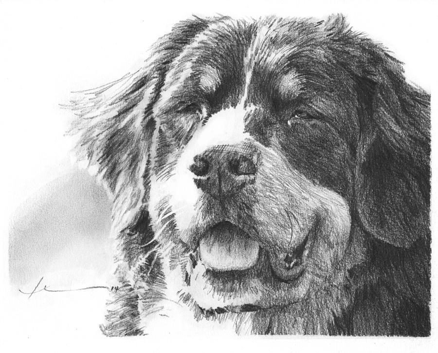 Bernese Mountain Dog Pencil Portrait Drawing by Mike Theuer