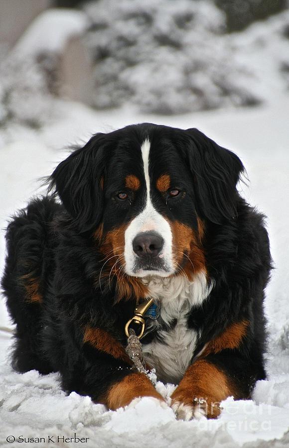 Outdoors Photograph - Bernese Mountain Dog by Susan Herber