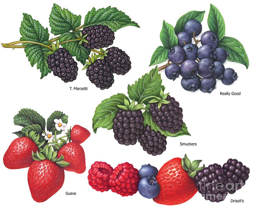 Blackberries Painting - Berries #2 by Douglas Schneider