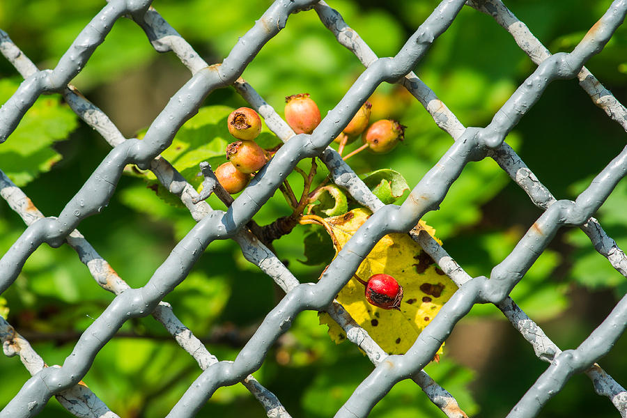 Abstract Photograph - Berries And The City - Featured 3 by Alexander Senin
