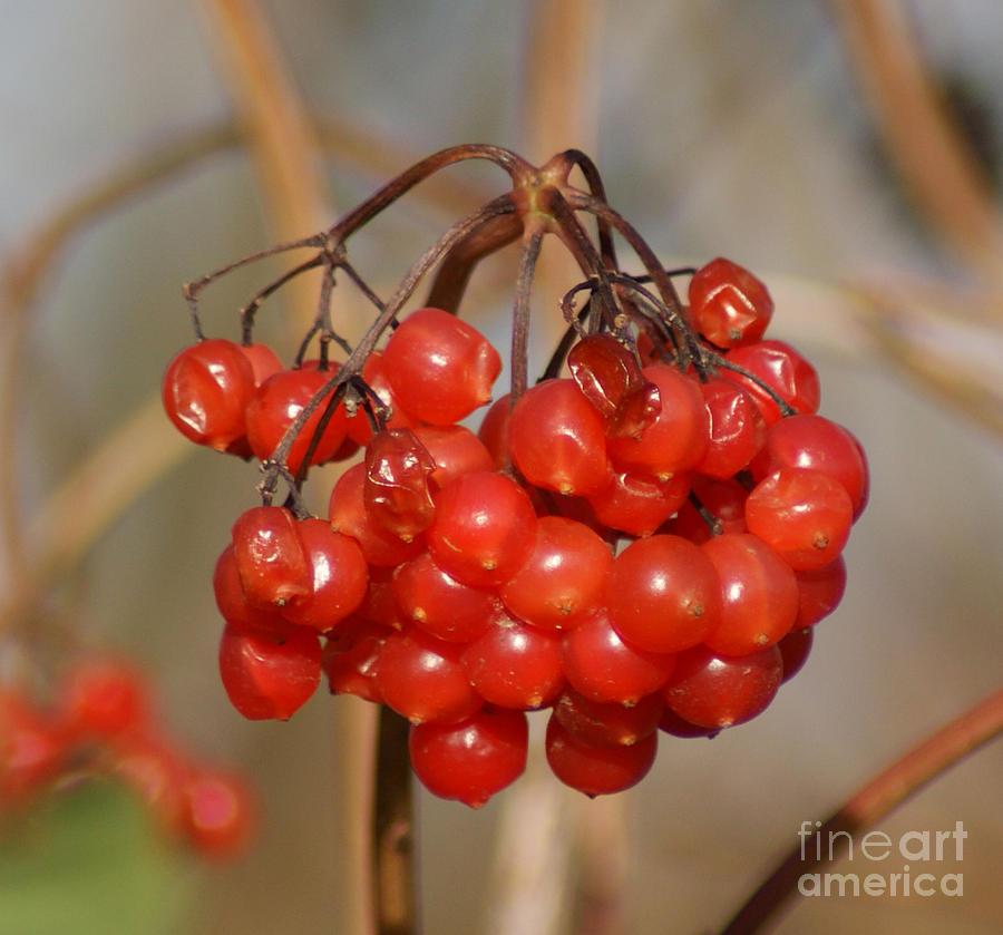 Autumn Photograph - Berries by Carol Lynch