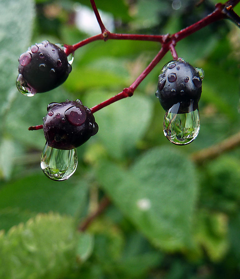 Berry Wet Photograph by Baato