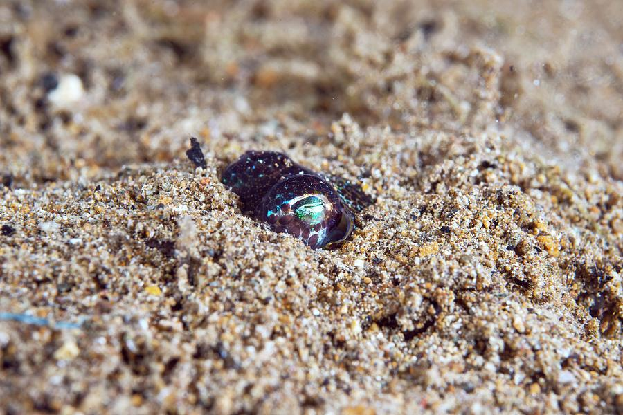 Biology Photograph - Berrys Bobtail Squid by Scubazoo/science Photo Library