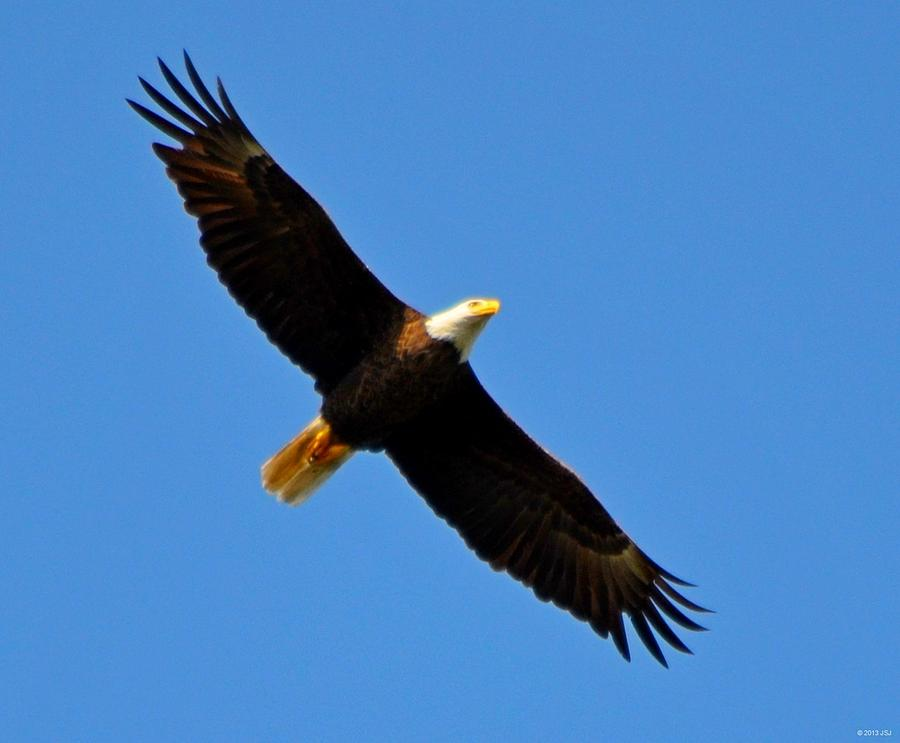 American Bald Eagle Photograph - Best Bald Eagle On Blue by Jeff at JSJ Photography