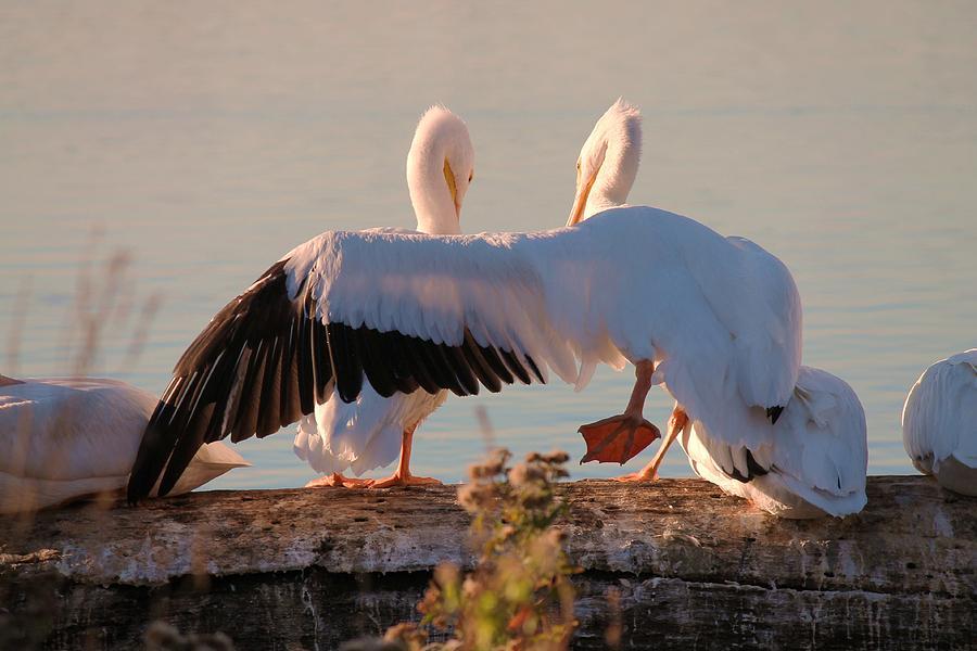 American White Pelican Photograph - Best Friends by Lorri Crossno