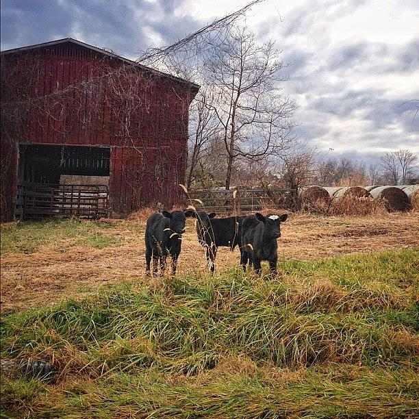 Livestock Photograph - Beware Loose Calves On Country by Amber Flowers