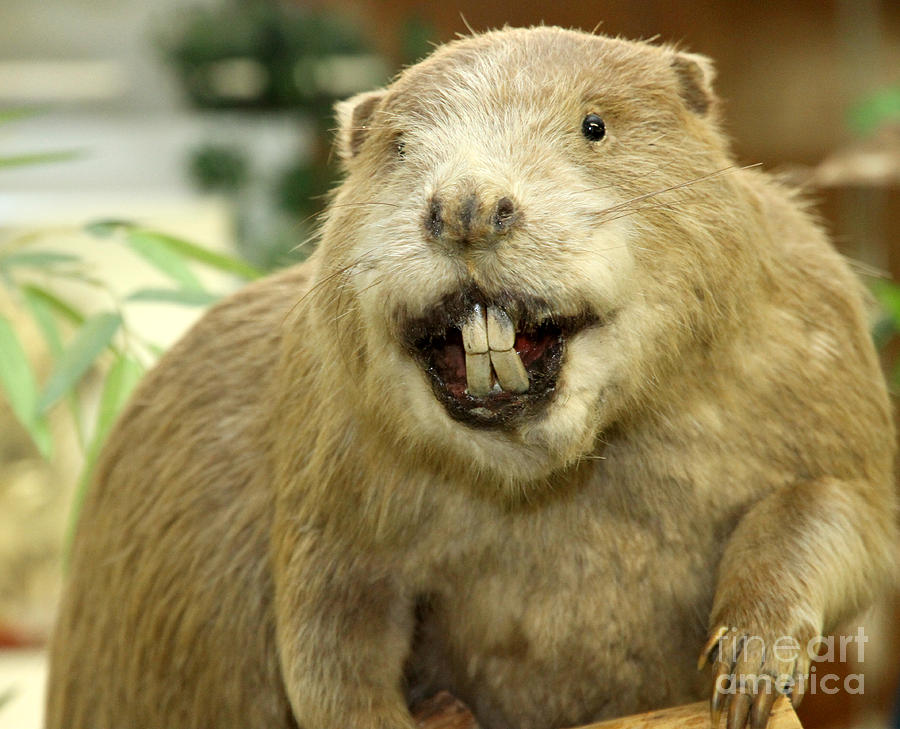 Big Beaver With Huge Incisors Photograph By Fed Cand