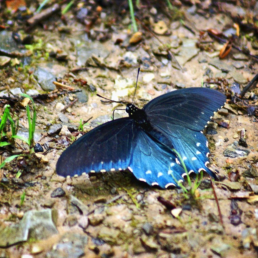Butterfly Photograph - Big Blue by Marty Koch