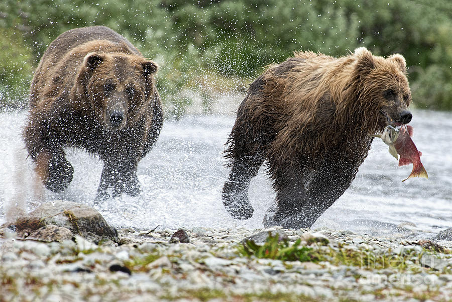 Chasing Photograph - Big Bully On Funnel Creek Katmai National Park by Dan Friend