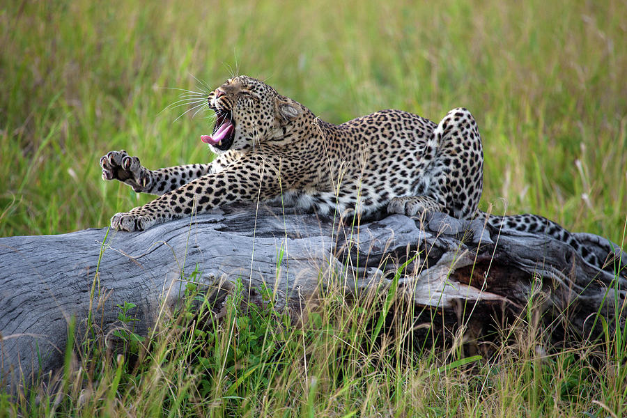 Leopard Photograph - Big Cat by Alessandro Catta