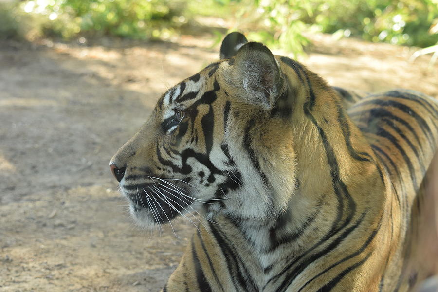 Big Cat Profile Photograph