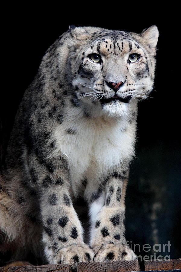 Snow Leopard Photograph - Big Cats 2011.no.3 by RL Clough