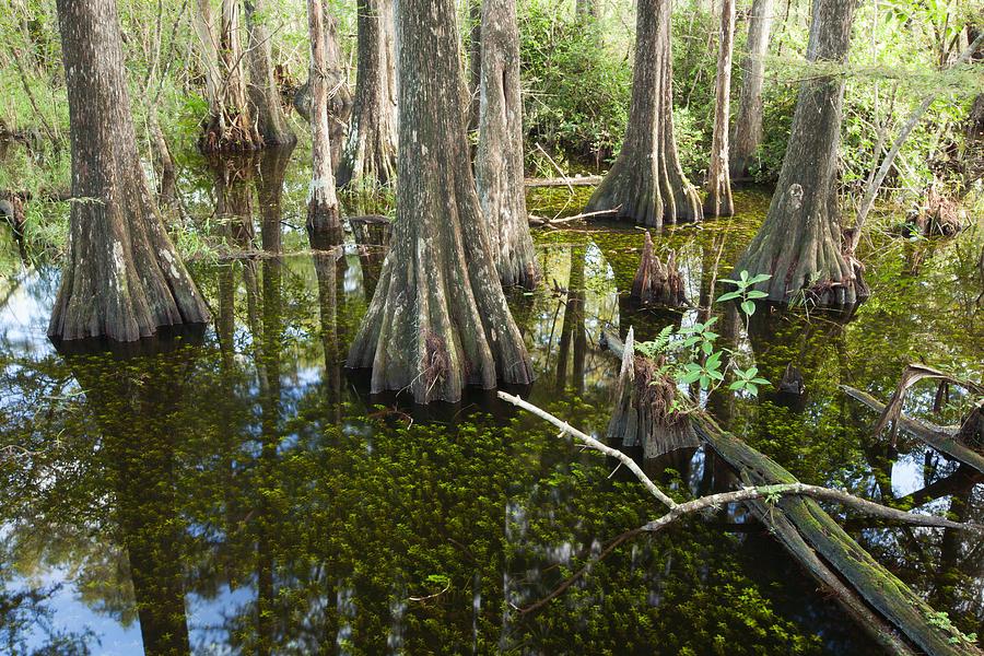 Big Cypress Swamp Photograph