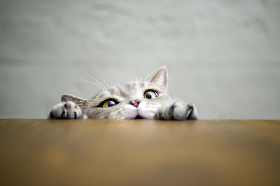 Big-eyed naughty obese cat showing paws on wooden table Photograph by 101cats