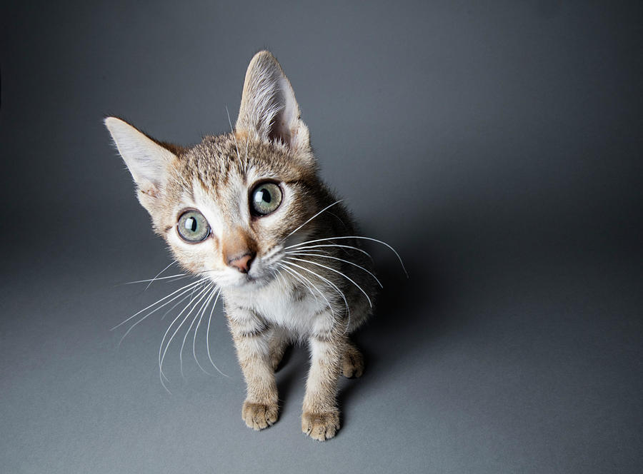 Big-eyed Tabby Kitten - The Amanda Photograph by Amandafoundation.org