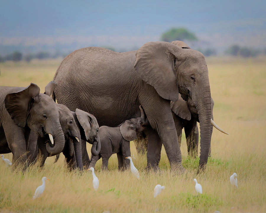 Elephant Photograph - Big Family by Young Feng