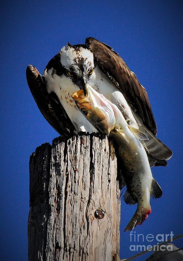 Osprey Photograph - Big Fish by Quinn Sedam