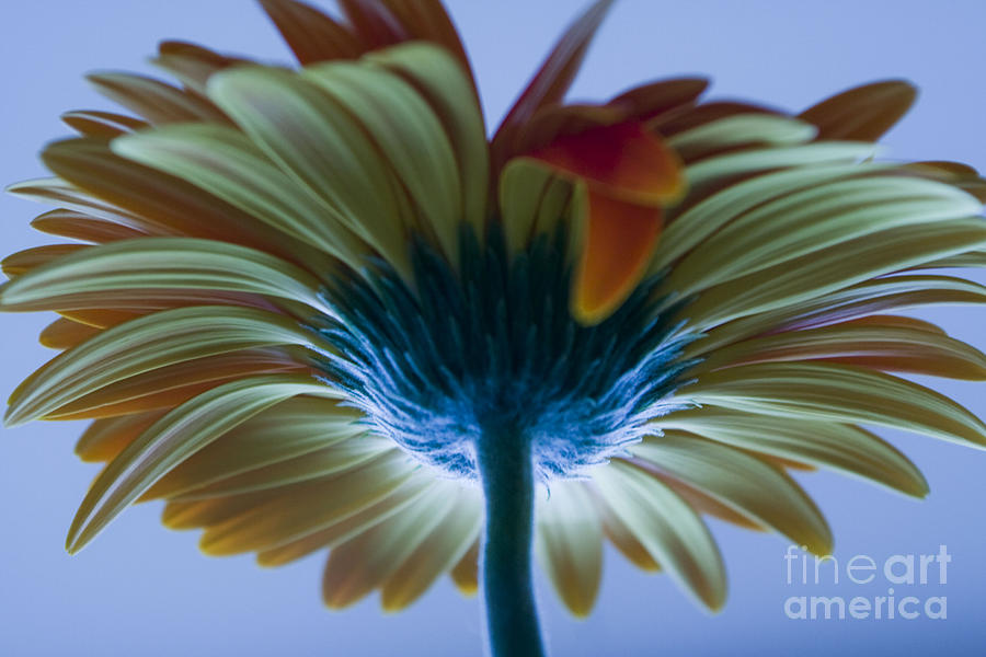 Big Photograph - Big Flower by Victoria Herrera