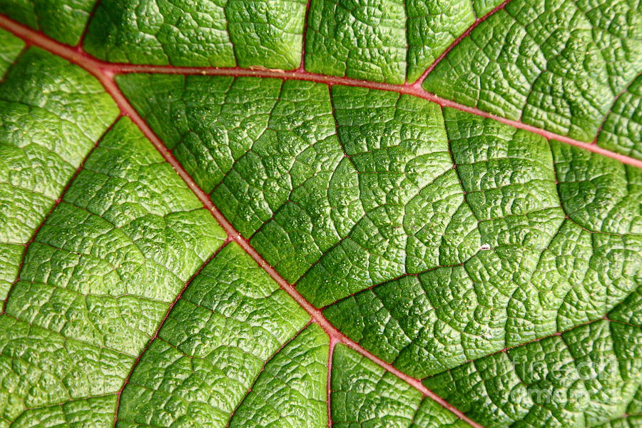 Plant Photograph - Big Green Leaf 5d22460 by Wingsdomain Art and Photography