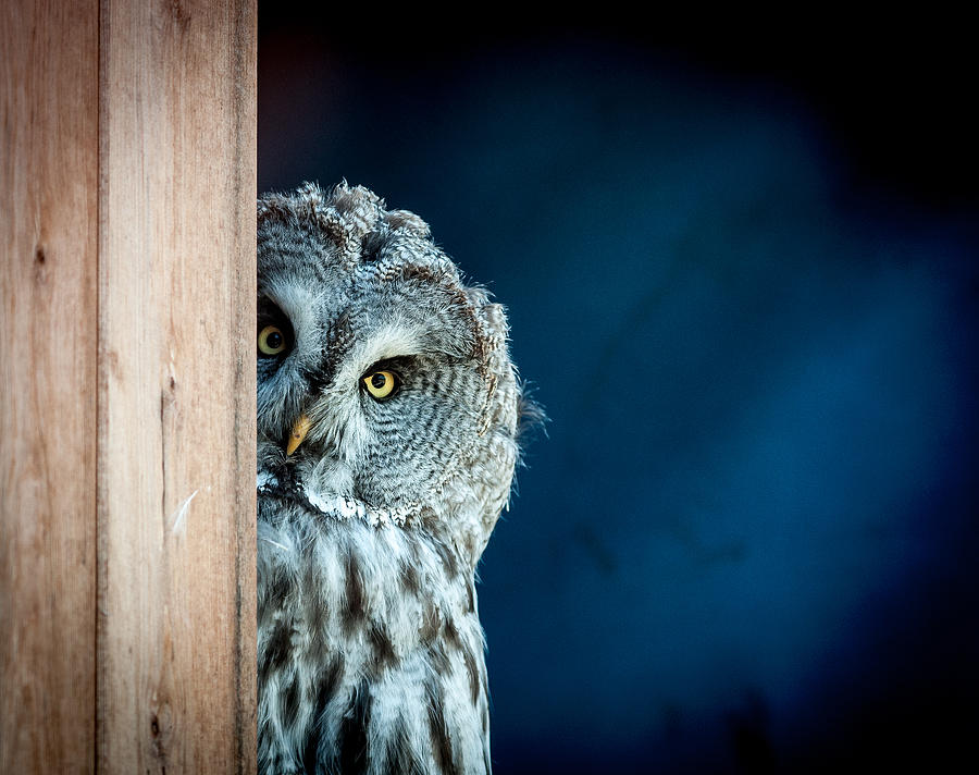 Big Grey Owl Peeking Around Corner, Letterkenny, Ireland by John Havord