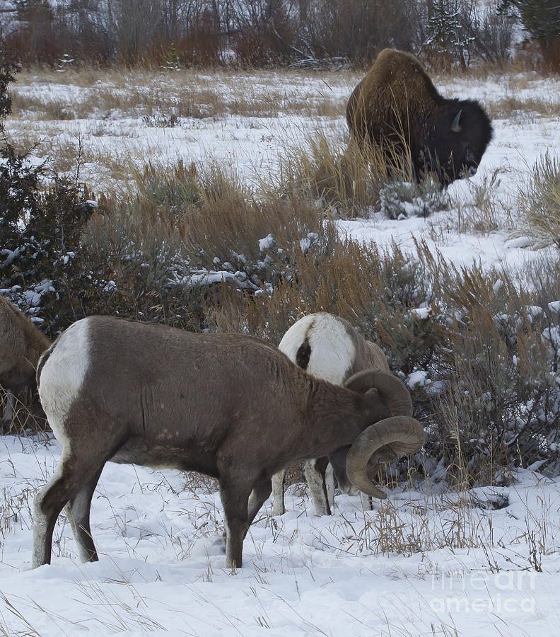 Big Horn Ram And Buffalo Photograph
