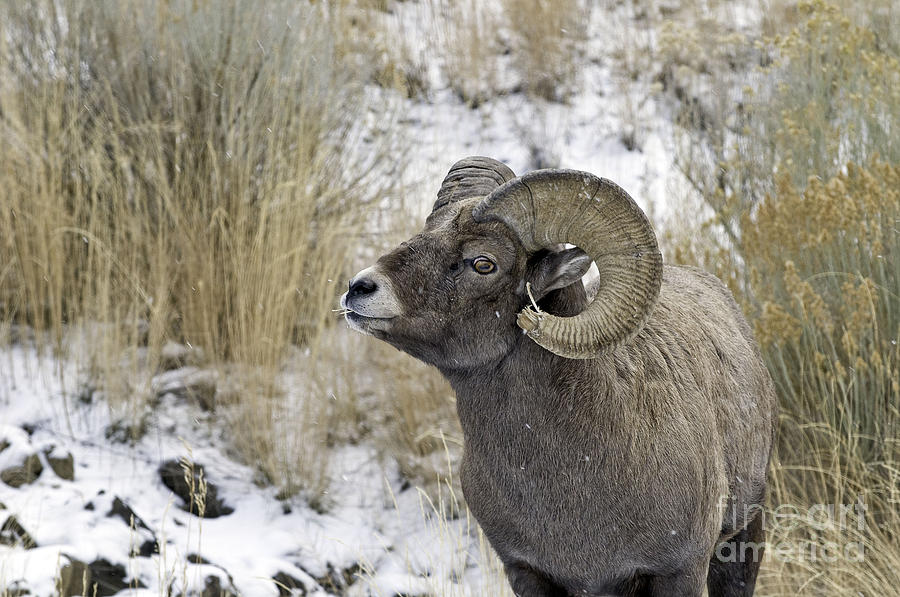 Nature Photograph - Big Horn Ram by Bob Dowling