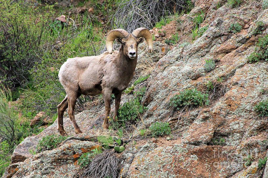 Bighorn Sheep Photograph - Bighorn Sheep by Kathy Eastmond