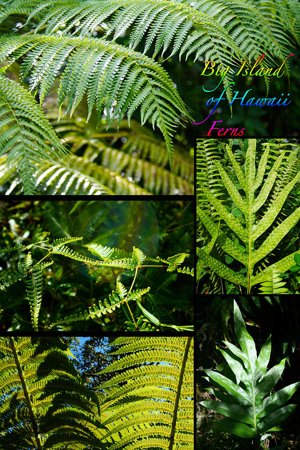 Ferns Photograph - Big Island Of Hawaii Ferns 2 by Colleen Cannon