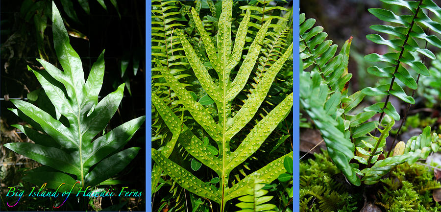 Plants Photograph - Big Island Of Hawaii Ferns by Colleen Cannon