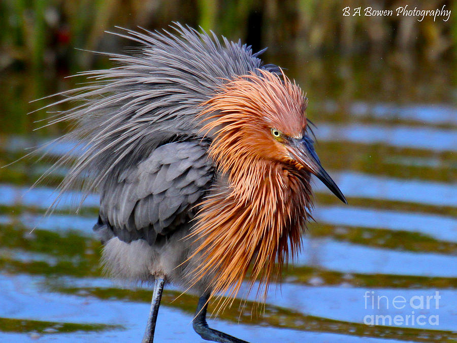 Reddish Egret Photograph - Big Red All Fuzzed Out by Barbara Bowen